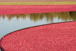 Cranberry Ernte in New England, USA