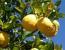 Sveže limone