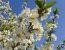 Cvetje češnejevih dreves